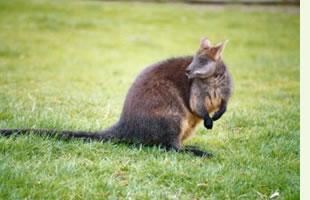 kanguruh.jpg