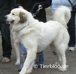pyrenaenberghund.jpg