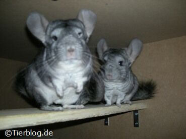 chinchillas-0151.jpg