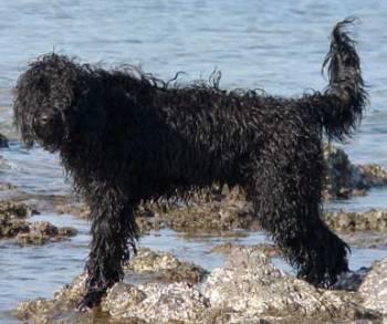 portugiesischer-wasserhund